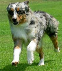 australian shepherd queen creek az love minni aussies australian shepherd aussie pinterest