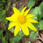 Image result for Arnica cordifolia