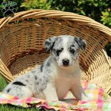 husky x australian shepherd for sale australian shepherd mix puppies for sale greenfield puppies