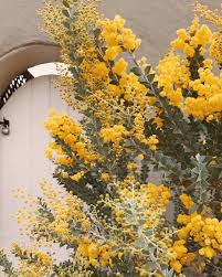 Tree With Bright Yellow Flowers - 223 2k likes 1 851 comments con connorfranta on instagram