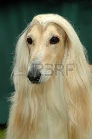 afghan hound long haired dogs long haired dog stock photos royalty free long haired dog images