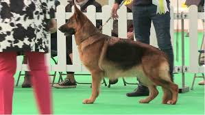 belgian sheepdog national specialty 2018 best in show daily