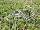 Western Ribbon Snake | Sensational Serpents sensationalserpents.com