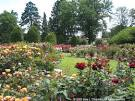 Rose Garden for Today's Flowers | Sara's Fave Photo Blog
