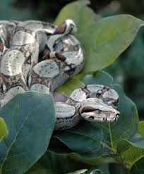 grey het red tailed boa want herp a derp pinterest boas