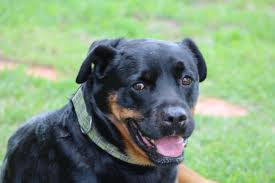 belgian sheepdog chow mix southern states rescued rottweilers
