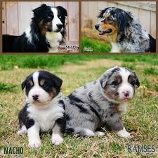 husky x australian shepherd for sale australian shepherd puppies for sale