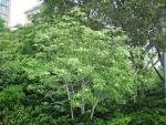 Image result for Magnolia virginiana