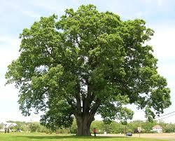 White Oak Bark Quercus Alba Wikipedia