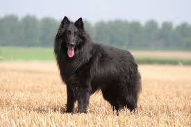 belgian sheepdog chow mix belgian shepherd dog dogs and puppies for sale in the uk pets4homes