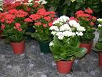Happy looking <b>Kalanchoes</b>.