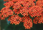 <b>Kalanchoe</b> brings top holiday