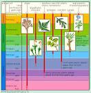 phylum plants