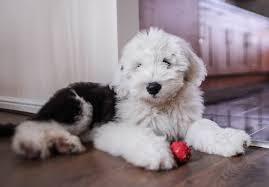 belgian sheepdog breeders in texas old english sheepdog puppies for sale akc puppyfinder