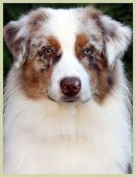 australian shepherd queen creek az miniature australian shepherd cute little furry things