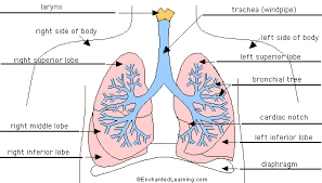 Anatomy And Physiology Of Lungs Human Anatomy Picture Of Lungs In Body Basic Lung Anatomy Lung