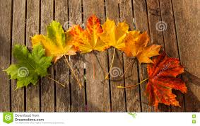 Maple Tree Symbolism by Autumn Leaves Changing Color Stock Photo Image 79219932