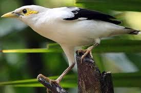 Download Suara Burung Jalak putih Mp3 Terbaru