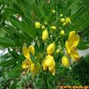 Cassia senna
