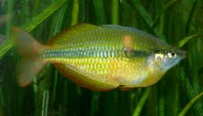 Lake Tebera rainbowfish