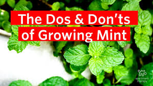 the dos u0026 don u0027ts of growing mint apartment therapy