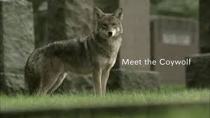meet the coywolf full episode nature pbs