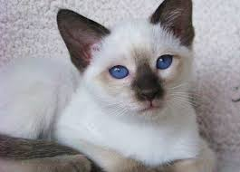 Permes Cattery  View Available Kittens