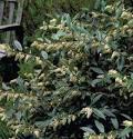Image result for Leucothoe axillaris