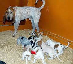 training a bluetick coonhound to hunt american english coonhound dog breed information pictures