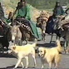 سگ عشایر