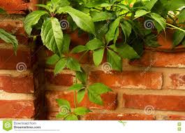 red brick wall with a climbing vine stock photo image 77504412