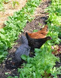 Manure For Vegetable Garden by Gardening With Chickens Part 3 Community Chickens