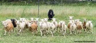 belgian sheepdog breeders in texas client herding dogs