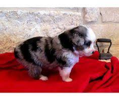 australian shepherd x pomeranian for sale miniature aussies for sale in texas sheltie australian shepherd
