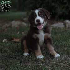 australian shepherd yorkshire terrier mix bernese mountain dog mix puppies for sale greenfield puppies
