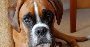 boxer dog uk sickening pictures of poorly boxer show the danger of dogs eating