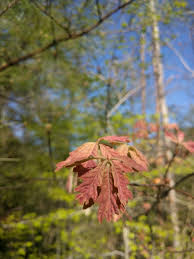 White Oak Bark Before The Fall Appreciating Tree Leaves Environment