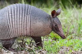 How Do You Get Rid Of Possums In The Backyard by Armadillo Control How To Get Rid Of Armadillos