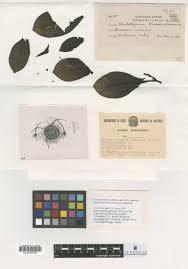 Chaetothyriaceae