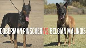 belgian shepherd uk breeders doberman pinscher vs belgian malinois battle of protection dogs