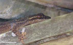 image of tuko lizard, borrowed from t1.gstatic.com