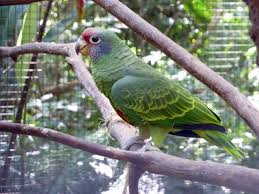 Red-tailed amazon