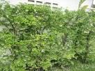 ต้นโมกในโรงเรียนนวมินทราชินูทิศ เบญจมราชาลัย | สาระ ความรู้ ...