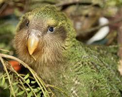 Image result for kakapo kiss