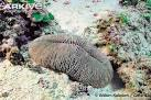 Image result for Fungia taiwanensis