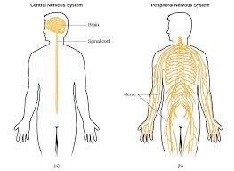 The Central and Peripheral Nervous Systems   Video  amp  Lesson