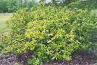Image result for Calycanthus floridus
