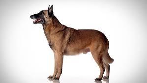belgian shepherd nc belgian malinois dog breed selector animal planet