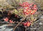 File:Kalanchoe rotundifolia, blomme, Louwsburg.jpg - Wikimedia Commons
