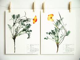 california poppy print set 61ab botanical print set